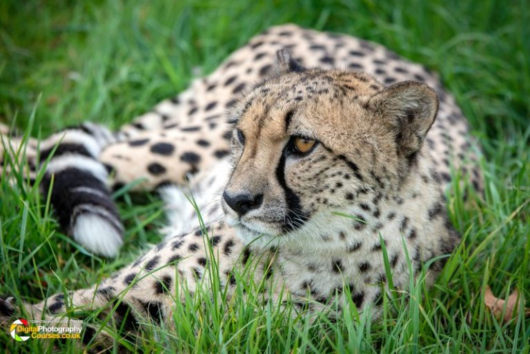 Big Cat Photography Course